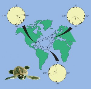 Loggerhead turtles travel over 9,000 miles in the Atlantic Ocean, guided by the Earth's magnetic field.